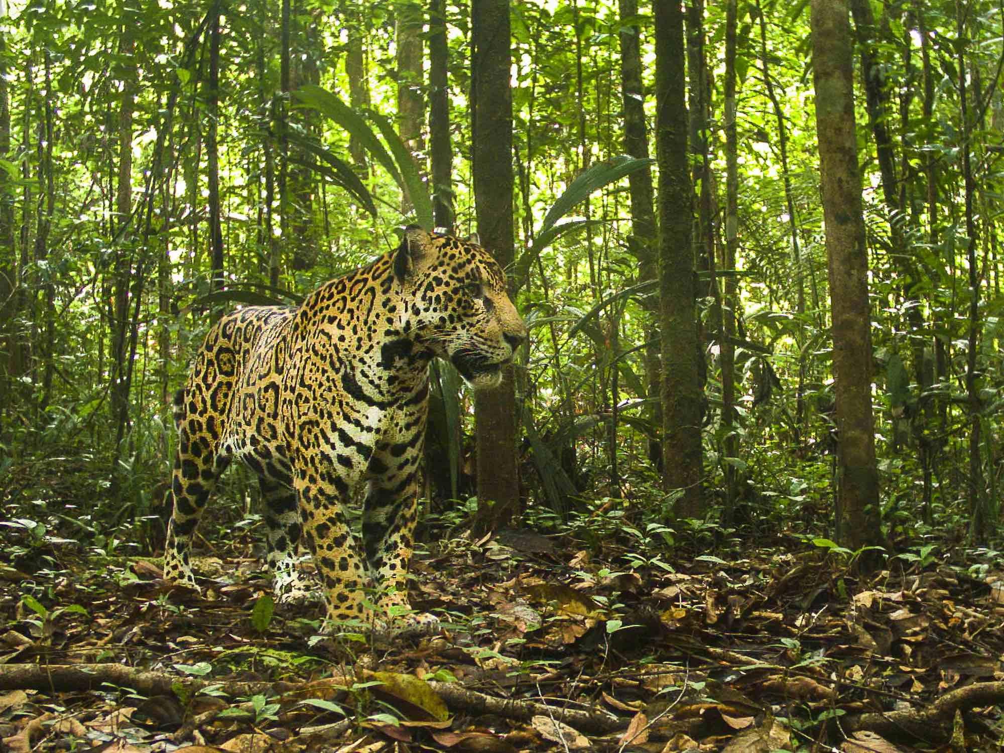is_biodiversite_csg_jaguar.jpg